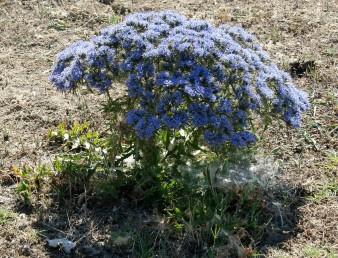 עשבים רב-שנתיים בעלי עלים קוצניים. הקרקפות מועטות פרחים, מקובצות ויושבות בקצות ענפים.