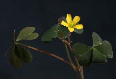 צמחים שרועים שעירים. העלים מורכבים-תלתניים, בעלי פטוטרת ארוכה; העלעלים מפורצים בראשם עד דמויי לב.