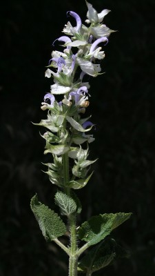 מרווה מרושתת Salvia sclarea L.