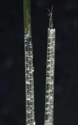 אגמון האגם Scirpus lacustris L.