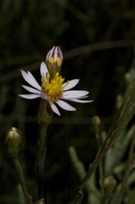 Aster tripolium L.