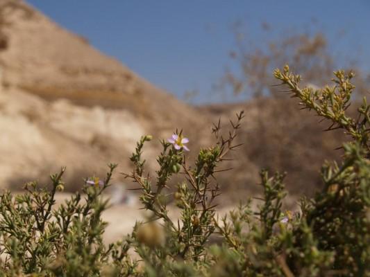 פגוניה ערבית Fagonia arabica L.