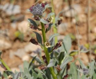 צמחים שעירים ומכוסי בלוטות. הכותרת ארגמנית. גדלים ברום החרמון.
