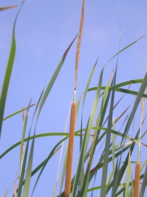 סוף מצוי Typha domingensis (Pers.) Steud.
