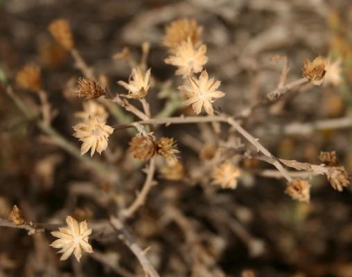 אפיונה מחודדת Iphiona mucronata (Forssk.) Asch. & Schweinf.