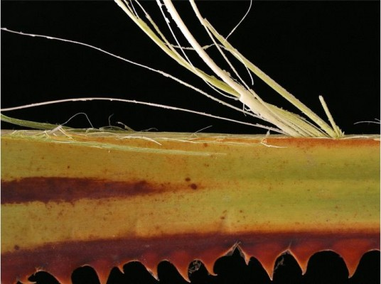 איור 11: לאחר הסרת הקוצים אפשר להפיק סיבים ראויים לשזירת חוטים