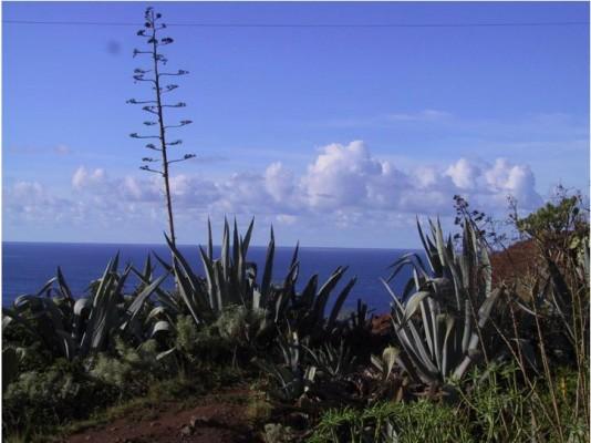 איור 13: אגבה היא צמח אמריקאי שקרוביו ידועים בשם