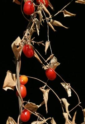 Tamus orientalis Thiebaut