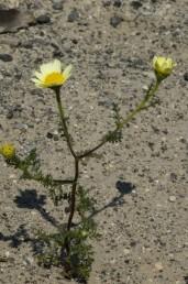 עשבים חד-שנתיים גזורי עלים. פרחי ההיקף לשוניים עלייניים, צהובים; פרחי המרכז צינוריים, דו-מיניים, צהובים.