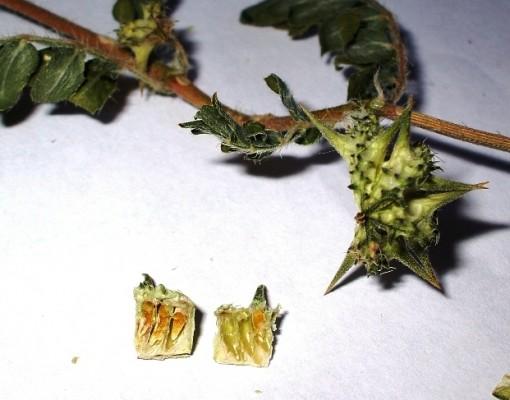 קוטב מצוי Tribulus terrestris L.