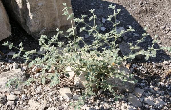 חלבלוב צמיר Euphorbia petiolata Banks & Sol.