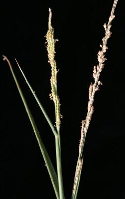Paspalidium geminatum (Forssk.) Stapf