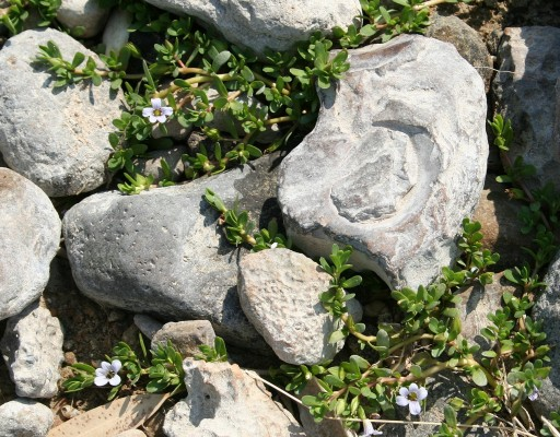 Bacopa monnieri (L.) Pennell