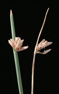 גומא דל-שיבולים Cyperus distachyos All.