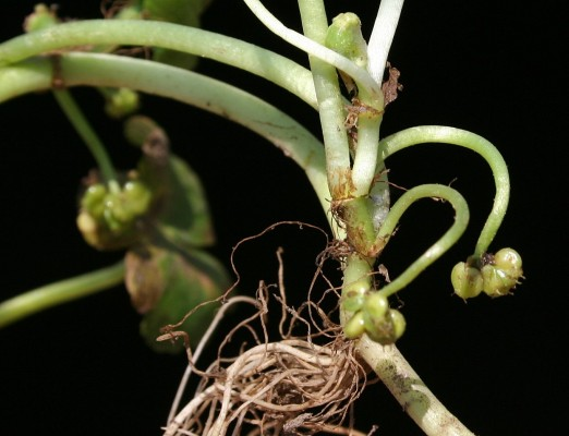 ספלילה זעירה Hydrocotyle sibthorpioides Lam.