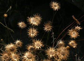 לאחר הפצת הזירעונים נותרים על הצמח חפי-מעטפת פרושים סביב מצעיות ריקות. הרטבת חפי-המעטפת תביא להתרוממותם וסגירת הקרקפת הריקה.