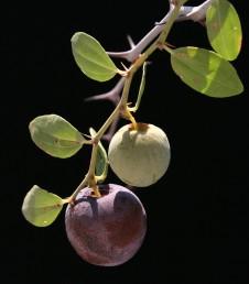 שיחים. העלים מבריקים, בעלי 3 עורקים בולטים וזוג קוצי לוואי האחד ישר והשני מאונקל. הפרי בית-גלעין חום בהיר.