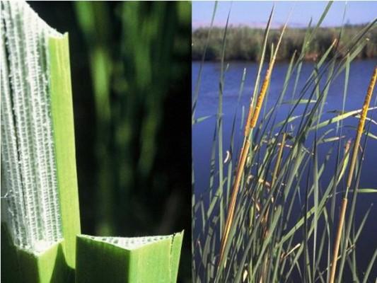 מימין סוף מצוי, חד-פסיגי מהנפוצים שבצמחי גדות נחלים וחופי אגמים, משמאל חתכים בעלה של סוף הקרין.