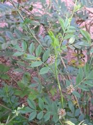 עשבים רב-שנתיים. גובהם עד 50 ס