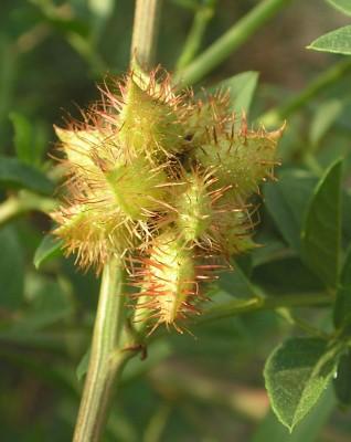 שוש קוצני Glycyrrhiza echinata L.