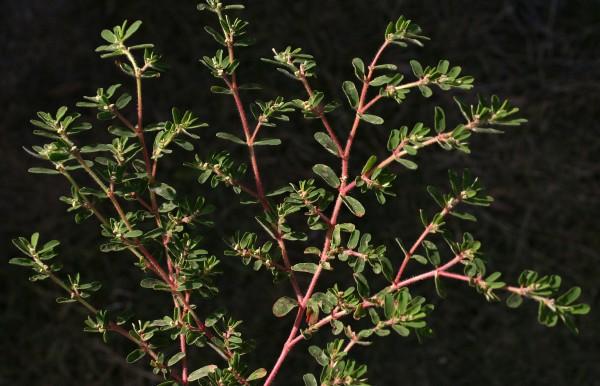 חלבלוב מאדים Euphorbia supina Rafin.