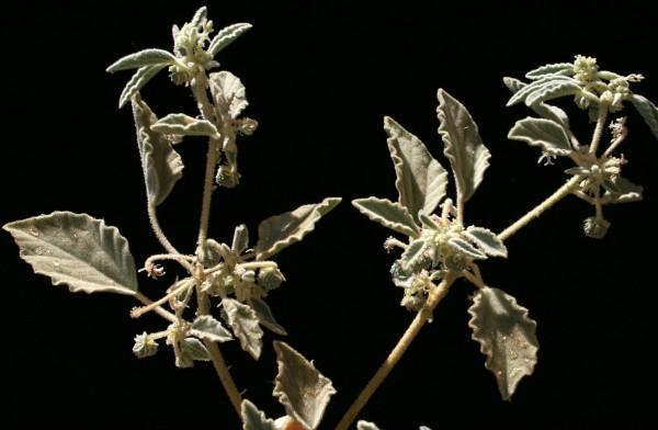 Chrozophora obliqua (Vahl) A.Juss. ex Spreng.