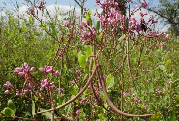 סם-כלב מזרחי Trachomitum venetum (L.) Woodson
