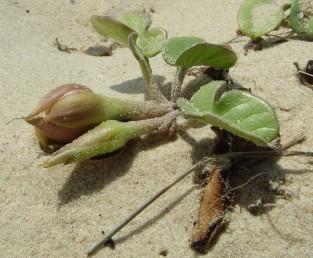 העלים גלדניים או בשרניים, דמויי לב בבסיסם ומפורצים בראשם; לפעמים בעלי אונות. עשבים רב-שנתיים של חולות חוף הים (12210), זוחלים ומשתרשים.
