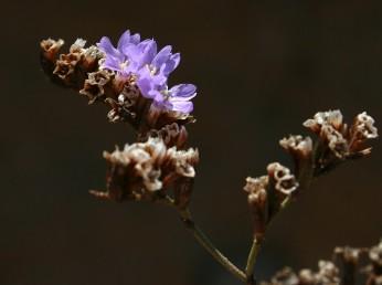 הפרחים ערוכים בקבוצות צפופות. צבע הכותרת ורוד.