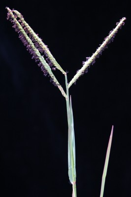 פספלון דו-טורי Paspalum distichum L.