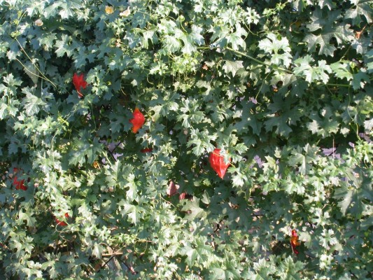 לעוסית מטפסת Momordica balsamina L.