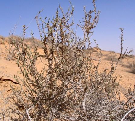 סרב חד-קוצי Cornulaca monacantha Delile