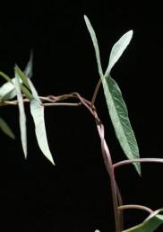 רוב העלים דמויי חץ, צרים ואינם מחולקים לאונות.