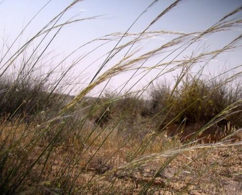Stipagrostis ciliata (Desf.) de Winter