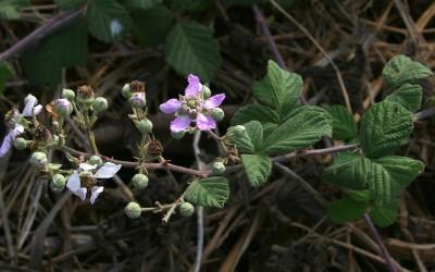גדות נהרות, מעיינות וביצות. הכותרת ורודה או סגולה. עוקצי הפרחים חסרי קוצים או בעלי 2-1 קוצים כפופים.