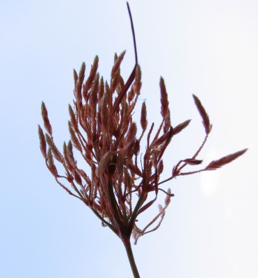 עליעב חלוד Fimbristylis ferruginea (L.) Vahl