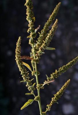 ירבוז הגדות Amaranthus rudis Sauer