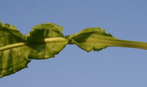 חומעה מסולסלת Rumex crispus L.