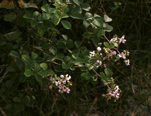 פטל קדוש Rubus sanctus Schreb.
