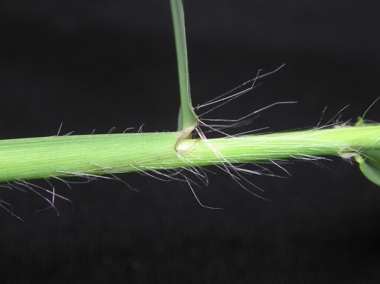 אצבען ריסני Digitaria ciliaris (Retz.) Koeler
