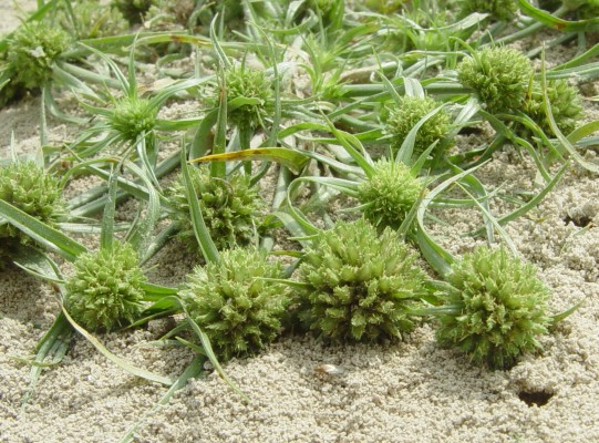 גומא ננסי Cyperus michelianus (L.) Delile