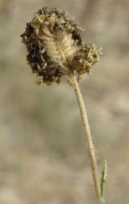 כף-חתול זוחלת Aeluropus lagopoides (L.) Thwaites