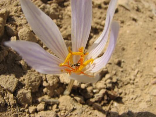 Crocus damascenus Herbert