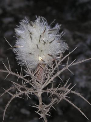 חורשף מצויץ Atractylis comosa Cass.