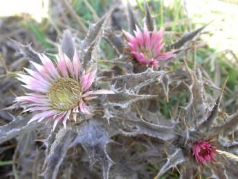 צמחים חד-שנתיים או דו-שנתיים.  העלים והחפים קוצניים. צבע החפים הפנימים ורוד- ארגמני.