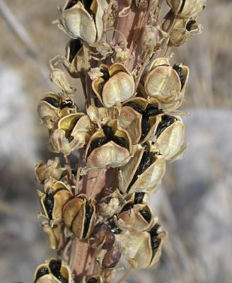 חצב מצוי Drimia maritima (L.) Stearn