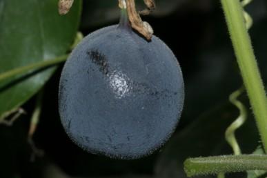 הפרי סגול כהה מכוסה בשכבת חומר לבן, זרעיו בצבע כתום.