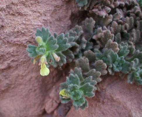 Ajuga chamaepitys subsp. tridactylites (Bentham) P.H. Davis