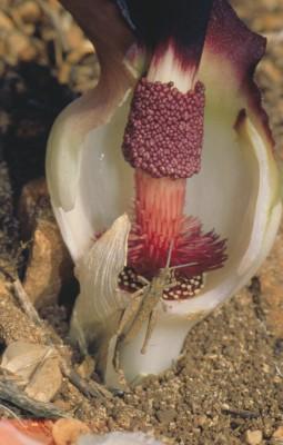 אחילוף קטן Biarum bovei Blume