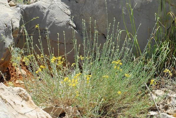 Silene stenobotrys Boiss. & Hausskn.